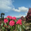 Rhododendron flowers against of the sky in the clouds — Stock Photo