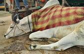 Touro zebu indiano esclarecido — Foto Stock