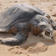 Corpse of the sea turtle Olive ridley Lepidochelys olivacea. Ind — Stock Photo