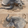 Corpse of the Olive ridley Lepidochelys olivacea — Stock Photo