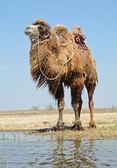 Bactrian camel saddled — Stock Photo