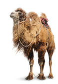 Bactrian camel on white background — Stock Photo