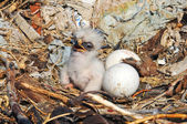 Nestling and eggs Steppe Eagle — Stock Photo