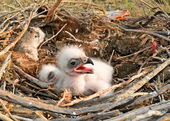 Young nestlings Steppe Eagle — Stock Photo