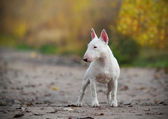 Mini Bull Terrier — Stock Photo