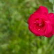 Pink rose flower on a green background — Stock Photo #30324699
