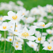 White anemones in nature — Stock Photo