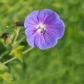 Flor gerânio azul na natureza — Fotografia Stock