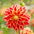 Dahlia red flower in nature — Stock Photo