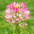 Stockfoto: Cleome flower in nature