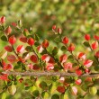 Stock Photo: Cotoneaster branch in autumn