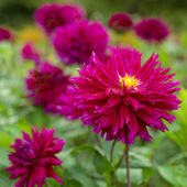 Bright pink flowers blooming dahlias — Stock Photo