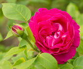 Bright pink rose in nature — Stock Photo