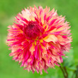 Dahlia flower in nature — Stockfoto