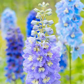 Delphinium flowers in nature — Stock Photo