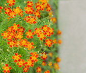 Marigold flowers in the flower bed — Stock Photo