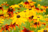 Flowers rudbeckia — Stock Photo