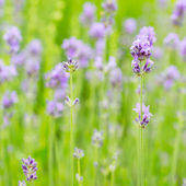Lavender blossoms in nature — Stock Photo