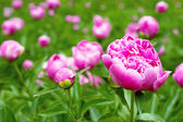 Pink peony flowers in the garden — Stock Photo
