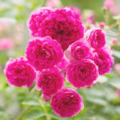 Flowers Pink Rose — Stock Photo