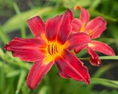 Red lily flower — Foto Stock