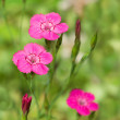 Dianthus  deltoides  flower  — Stock Photo