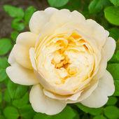 Rose cream color — Stock Photo