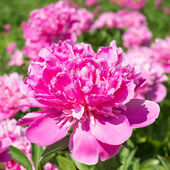 Pink peony flower — Stock Photo