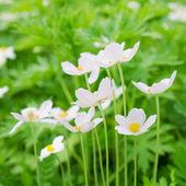 Anemones white flowers — Stock Photo