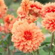 Flowers Dahlias — Stock Photo #38386753
