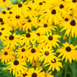Stock Photo: Rudbeckiyellow