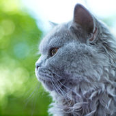 British blue cat portrait in profile — Stockfoto