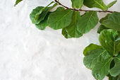Ficus green against a white wall — Stock Photo