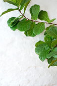 Ficus plant on wall background — Stock Photo