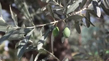 Olive planting — Stockvideo