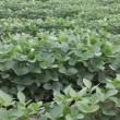 Soybean planting — Vídeo Stock