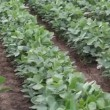 Stock Video: Soybean planting