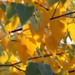 Autumn leafs — Stock Video