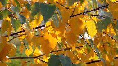 Autumn leafs — Stock Video