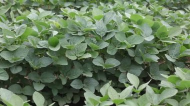 Soybean plant — Stock Video