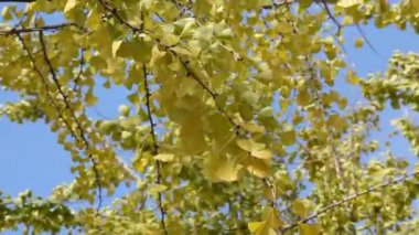 Ginkgo biloba — Stock Video
