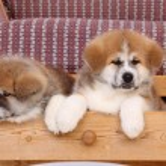 Akita pets — Stock Photo #17429717