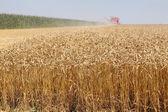 Wheat harvest — Stock Photo