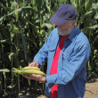 Agronomist examine corn cob — Stock Photo
