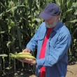 Stock Photo: Agronomist examine corn cob