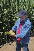 Agronomist examine corn cob — Stock Photo