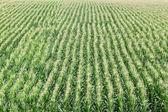 Agricultura, campo de maíz — Foto de Stock