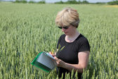 Agriculture, agronomy exprert in wheat — Stock Photo