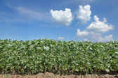 Agriculture, soy field — Stock Photo