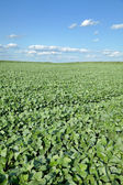 Agriculture, soy field — Photo